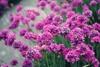 Vecmāmiņas ziediņi