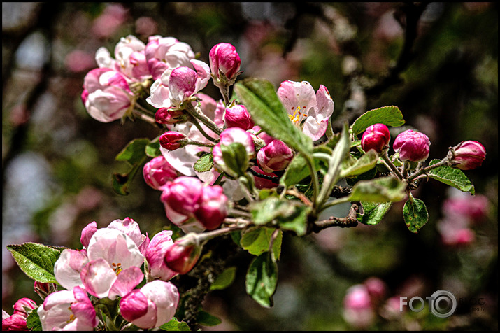 Ābeles un cidonijas zied...