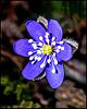 Pirmais pavasara ziediņš